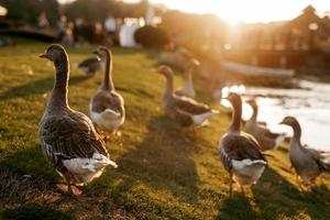 flock of birds ducks walks on the grass at sunset photo