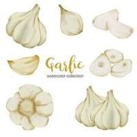 garlic in watercolor collection flat vector on white background