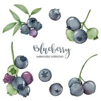 blueberry in fruit watercolor collection flat vector on white background