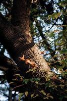 Dos ardilla peluda roja se sienta en el tronco de un árbol marrón foto