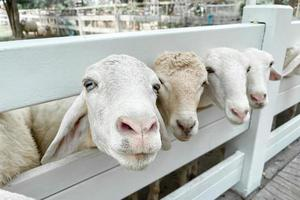 White sheep crowd in the classic farm, Thailand photo