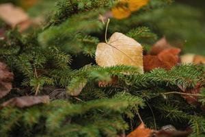 dry leaves lying on spruce branches, cropped image, selective focus. Natural, autumn foliage, christmas concept photo