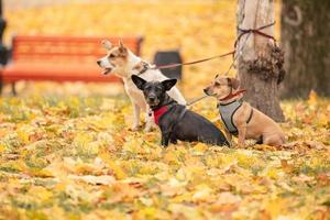 Three Dogs Tied To The Tree And Waiting On Leash. three dogs in the autumn park photo