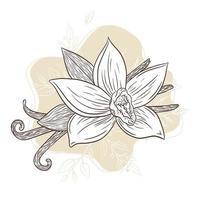 Vanilla Spice Engraved Illustration Line Art vector