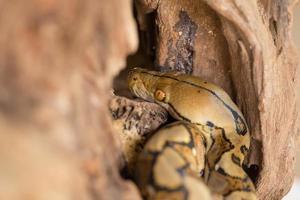 Boa portrait, Boa constrictor snake on tree branch photo