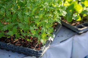 Fines herbes botany plant leaf detail Fresh Green Herb Plant photo