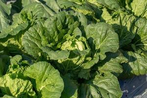 Fresh cabbage from farm field, cabbage in the garden photo