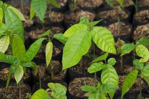 árbol de cacao en bolsa de siembra, en invernadero foto