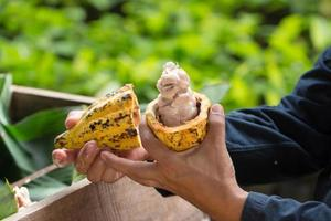 Fresh cocoa beans in the hand of a farmer photo