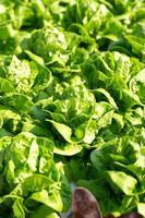 hojas de lechuga mantecosa fresca, ensaladas granja hidropónica vegetal foto