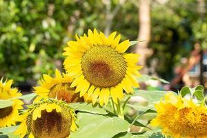Oso de peluche amarillo girasol en un jardín. foto