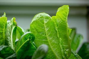 hojas de lechuga fresca, ensaladas vegetales granja hidropónica foto