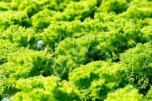 Frillice frescas hojas de lechuga iceberg, ensaladas granja hidropónica vegetal foto
