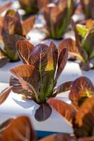 hojas de lechuga roja, ensaladas granja hidropónica vegetal foto