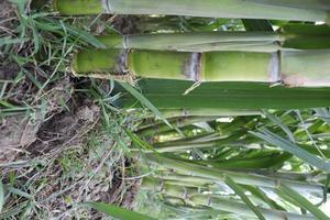 Finca de caña de azúcar en el campo para la cosecha foto