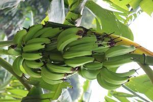 Racimo de banano en árbol en firme foto