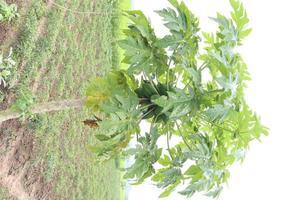 Papaya cruda verde sabrosa y saludable en el árbol foto