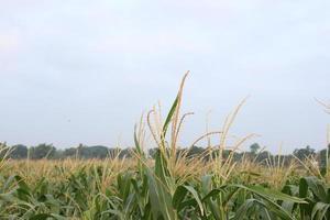 Árbol de maíz de color verde firme en el campo foto