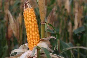 stock de maíz maduro con árbol en la firma foto