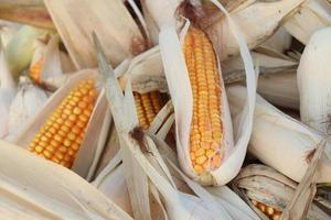 ripe maize stock on shop photo