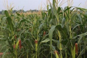 green colored maize tree firm on field photo
