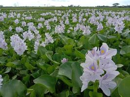 flor de kochuri pana de color violeta y blanco foto