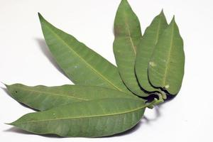 green colored mango leaf closeup photo
