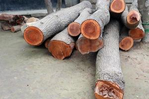 tree stock on saw mill for furniture photo