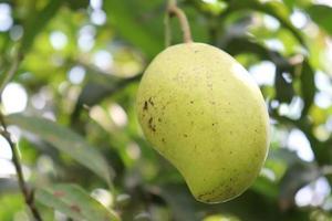 Mango verde crudo en árbol en la empresa foto