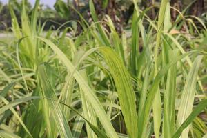 Firma de caña de azúcar en el campo para la cosecha foto