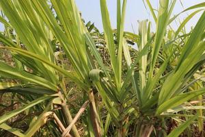 Caña de azúcar sabrosa y saludable en la granja foto