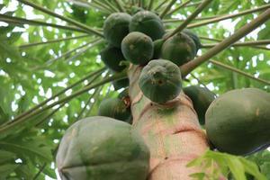 papaya verde saludable en el árbol foto