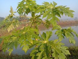 primer plano del árbol de papaya en el lago foto