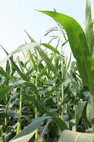 green colored Maize tree firm with flower photo
