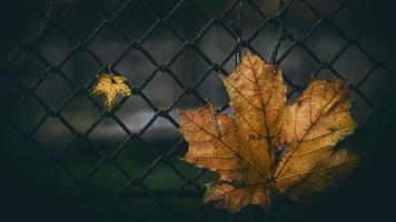 two maple leaves on the background of the fence photo