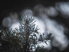 decorative blue spruce. Needles of blue spruce photo