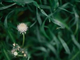 White dandelion flower in green grass photo