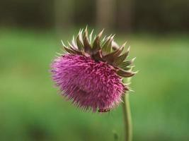close-up of a thistle flower. Pink prickly plumeless photo
