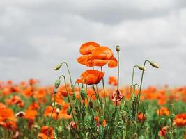 Field of red poppies. Flowers Red poppies blossom photo