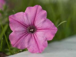 Flores de campana de trompeta rosa de ipomoea ipomoea foto
