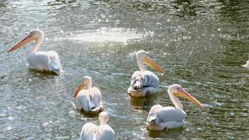 Grupo de grandes pelícanos blancos en el agua, día soleado foto