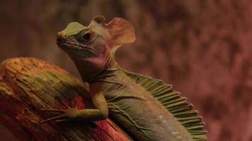 The plumed basilisk's Basiliscus plumifrons generic name Basiliscus is taken from the legendary reptilian creature of European mythology which could turn a man to stone by its gaze photo