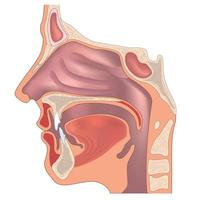 Anatomy of the nose and throat. Human organ structure. Medical sign vector