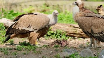 African Vulture Eating Meat From Dead Animal in zoo photo