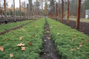 Tree farm nursery plantation, young forest grow photo
