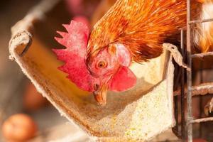 huevos pollos, gallinas en la granja industrial foto