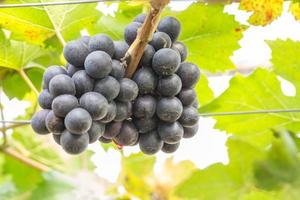Black Grapes in the vineyard photo