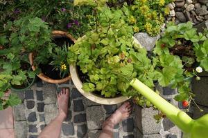 Raspberry Shrub, Currant Plant And Other Berry Bushes In The Ceramic Pots On The Garden Terrace. Woman Barefoot On The Stone Stairs. photo