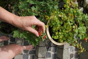Woman Hand And Red Currant Bush With Berrys In The Ceramic Pot On The Garden Terrace. photo