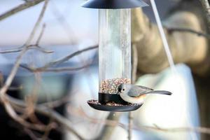 carbonero copetudo en comedero para pájaros foto